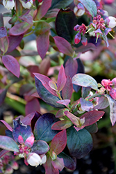 Pink Icing® Blueberry (Vaccinium 'ZF06-079') at Wasco Nursery