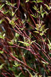 Bailey's Red Twig Dogwood (Cornus sericea 'Baileyi') at Wasco Nursery