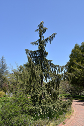Weeping Nootka Cypress (Chamaecyparis nootkatensis 'Pendula') at Wasco Nursery