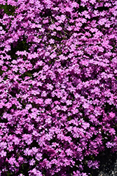 Emerald Pink Moss Phlox (Phlox subulata 'Emerald Pink') at Wasco Nursery