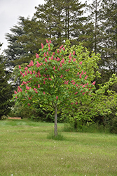 Fort McNair Red Horse Chestnut (Aesculus x carnea 'Fort McNair') at Wasco Nursery
