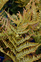 Brilliance Autumn Fern (Dryopteris erythrosora 'Brilliance') at Wasco Nursery