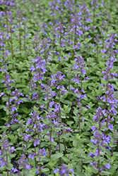 Blue Wonder Catmint (Nepeta x faassenii 'Blue Wonder') at Wasco Nursery