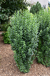 Straight Talk™ Common Privet (Ligustrum vulgare 'Swift') at Wasco Nursery