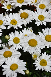 Snowcap Shasta Daisy (Leucanthemum x superbum 'Snowcap') at Wasco Nursery