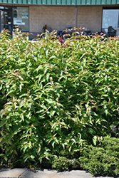 Butterfly Southern Bush Honeysuckle (Diervilla sessilifolia 'Butterfly') at Wasco Nursery
