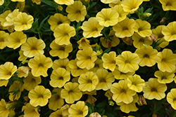 Superbells® Yellow Calibrachoa (Calibrachoa 'Superbells Yellow') at Wasco Nursery