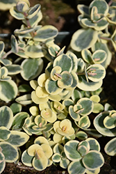 Lime Twister Stonecrop (Sedum 'Lime Twister') at Wasco Nursery