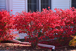 Chicago Fire Burning Bush (Euonymus alatus 'Chicago Fire') at Wasco Nursery