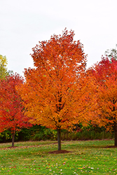 Commemoration Sugar Maple (Acer saccharum 'Commemoration') at Wasco Nursery
