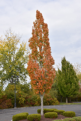 Armstrong Maple (Acer x freemanii 'Armstrong') at Wasco Nursery