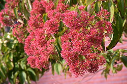 Seven-Son Flower (Heptacodium miconioides) at Wasco Nursery