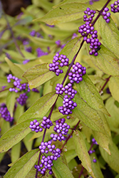 Early Amethyst Beautyberry (Callicarpa dichotoma 'Early Amethyst') at Wasco Nursery