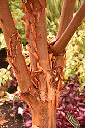 Paperbark Maple (Acer griseum) at Wasco Nursery