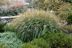 Adagio Maiden Grass (Miscanthus sinensis 'Adagio') at Wasco Nursery