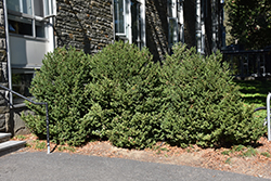 Green Mountain Boxwood (Buxus 'Green Mountain') at Wasco Nursery