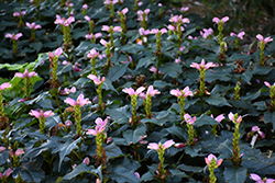 Hot Lips Turtlehead (Chelone lyonii 'Hot Lips') at Wasco Nursery