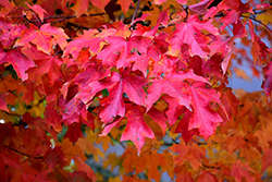 Fall Fiesta Sugar Maple (Acer saccharum 'Bailsta') at Wasco Nursery