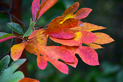 Sassafras (Sassafras albidum) at Wasco Nursery