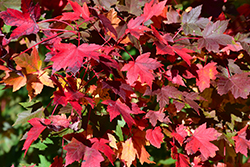 Redpointe Red Maple (Acer rubrum 'Redpointe') at Wasco Nursery