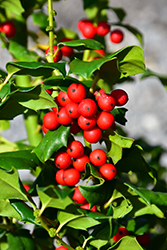 China Girl Meserve Holly (Ilex x meserveae 'China Girl') at Wasco Nursery
