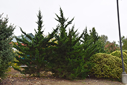 Canaertii Redcedar (Juniperus virginiana 'Canaertii') at Wasco Nursery