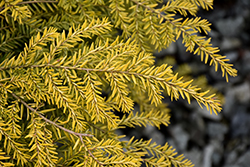 Golden Duchess® Hemlock (Tsuga canadensis 'MonKinn') at Wasco Nursery