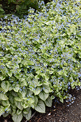 Jack Frost Bugloss (Brunnera macrophylla 'Jack Frost') at Wasco Nursery