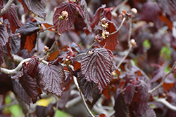 Red Majestic Corkscrew Hazelnut (Corylus avellana 'Red Majestic') at Wasco Nursery
