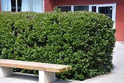 Hedge Cotoneaster (Cotoneaster lucidus) at Wasco Nursery