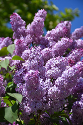 Common Lilac (Syringa vulgaris) at Wasco Nursery