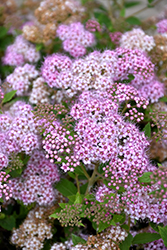 Little Princess Spirea (Spiraea japonica 'Little Princess') at Wasco Nursery