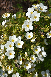 McKay's White Potentilla (Potentilla fruticosa 'McKay's White') at Wasco Nursery