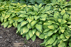 Paul's Glory Hosta (Hosta 'Paul's Glory') at Wasco Nursery