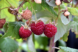 Heritage Raspberry (Rubus 'Heritage') at Wasco Nursery