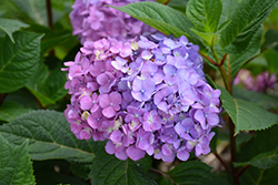 Bloomstruck® Hydrangea (Hydrangea macrophylla 'PIIHM-II') at Wasco Nursery
