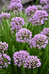 Summer Beauty Ornamental Chives (Allium tanguticum 'Summer Beauty') at Wasco Nursery