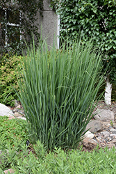Northwind Switch Grass (Panicum virgatum 'Northwind') at Wasco Nursery