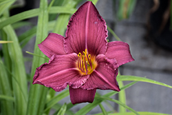 Summer Wine Daylily (Hemerocallis 'Summer Wine') at Wasco Nursery