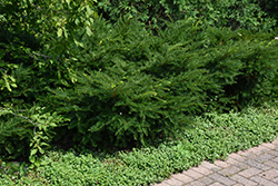 Green Wave Yew (Taxus x media 'Green Wave') at Wasco Nursery