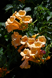 Yellow Trumpetvine (Campsis radicans 'Flava') at Wasco Nursery