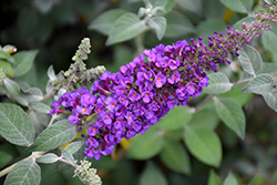 Miss Violet Butterfly Bush (Buddleia 'Miss Violet') at Wasco Nursery