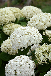 Invincibelle® Wee White Hydrangea (Hydrangea arborescens 'NCHA5') at Wasco Nursery