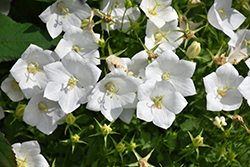 White Clips Bellflower (Campanula carpatica 'White Clips') at Wasco Nursery