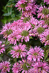 Pardon My Pink Beebalm (Monarda didyma 'Pardon My Pink') at Wasco Nursery