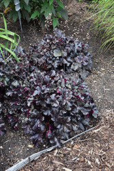 Black Pearl Coral Bells (Heuchera 'Black Pearl') at Wasco Nursery