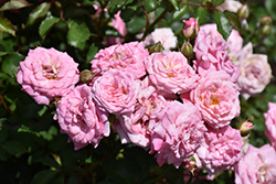 Sweet Drift® Rose (Rosa 'Meiswetdom') at Wasco Nursery