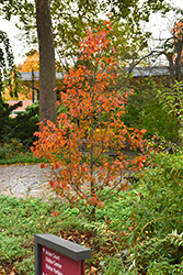 Firespire® American Hornbeam (Carpinus caroliniana 'J.N. Upright') at Wasco Nursery
