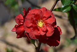 Double Take Scarlet™ Flowering Quince (Chaenomeles speciosa 'Double Take Scarlet Storm') at Wasco Nursery