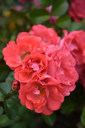 Coral Drift® Rose (Rosa 'Meidrifora') at Wasco Nursery